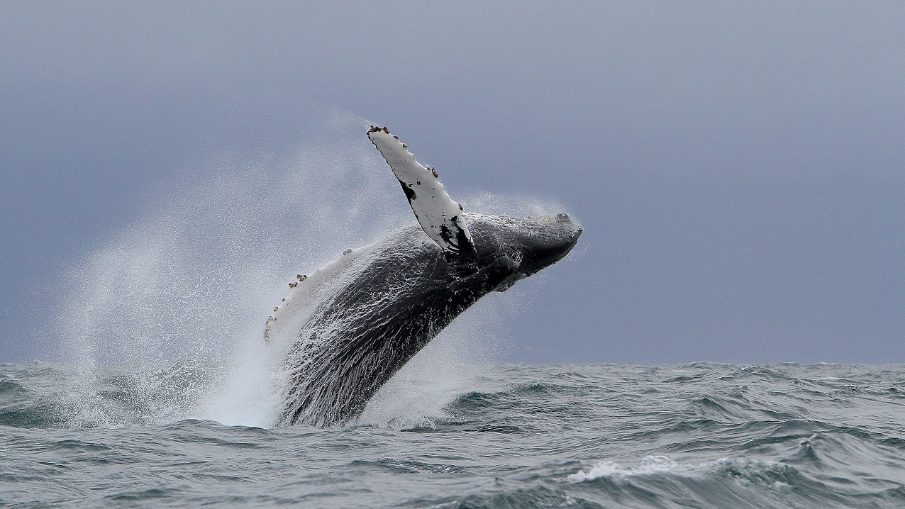 Breaching Humpback1 High Res V2
