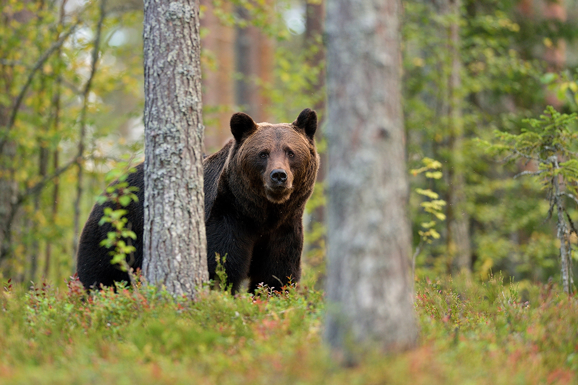 Brown Bear Finland Shutterstock 217277023